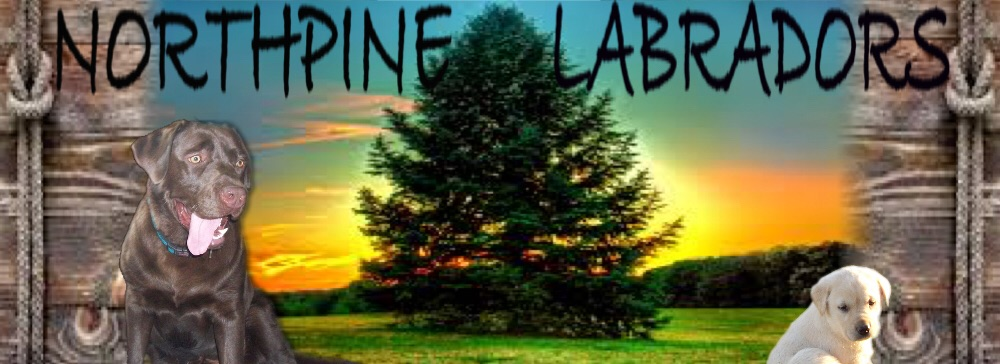 North Pine Labradors
